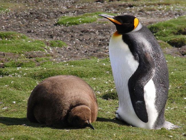Hey big brother - King Penguin chicks - Falklands Falkland Islands King Penguin