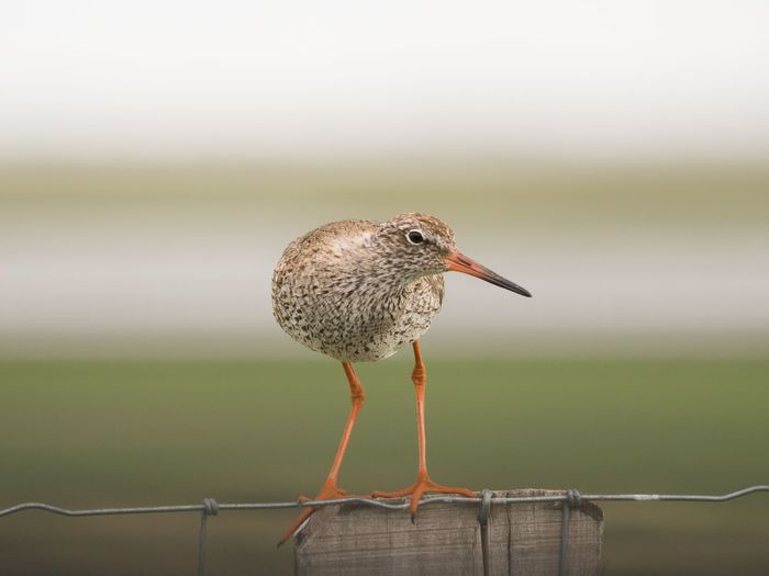 Rotschenkel Redshank Schleswig-Holstein Nordsee Northsea Bird Photography Animal Bird Animal Themes Animal Wildlife One Animal Animals In The Wild Vertebrate Focus On Foreground