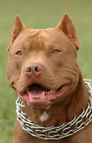 Pitbull Lover First Eyeem Photo
