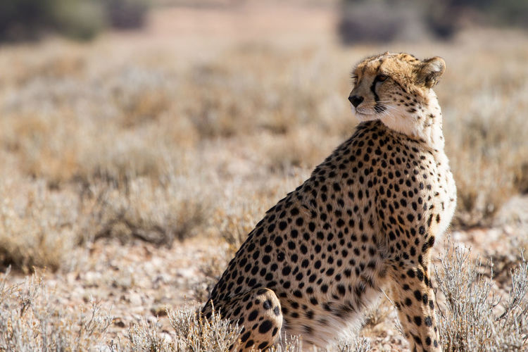 Cheetah Animals In The Wild Animal Wildlife Safari Spotted Animals Hunting Focus On Foreground Arid Climate Semi-arid Survival Nature Animal Feline Mammal Big Cat Animal Themes