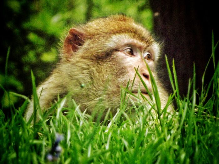 A cheeky monkey hiding in the grass at Trentham Estate monkey Forest Great Outdoors Trentham Natures Diversities EyeEm Nature Lover The Great Outdoors – 2016 EyeEm Awards The Essence Of Summer- 2016 EyeEm Awards Trentham Estate Wildlife & Nature Close Up Nature Beauty Of Nature HDR Eye For Photography Fujifilm Creative Light And Shadow Color Photography Malephotographerofthemonth MonkeyForest Barbary Macaques The Great Outdoors - 2016 EyeEm Awards Close Up Photography Wildlife Photography Wildlife Monkey Face Nature And Wildlife By Tony Bayliss