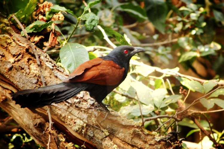 Coucal Coucals
