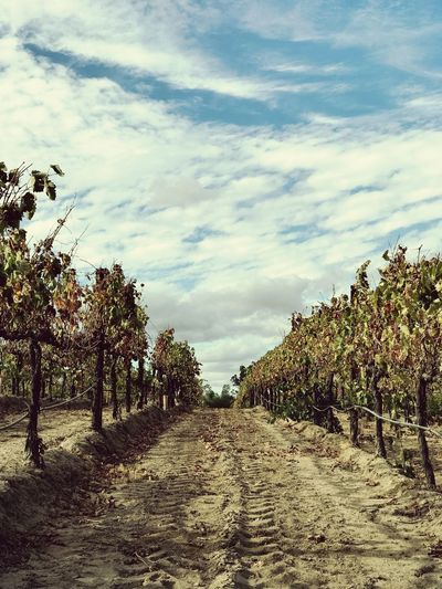 Wine road Winery Copy Space Wine Sky Cloud - Sky Plant Tree Nature No People Tranquility Growth Day Tranquil Scene Beauty In Nature Land Landscape Outdoors Scenics - Nature Field The Way Forward Environment Agriculture Sunlight