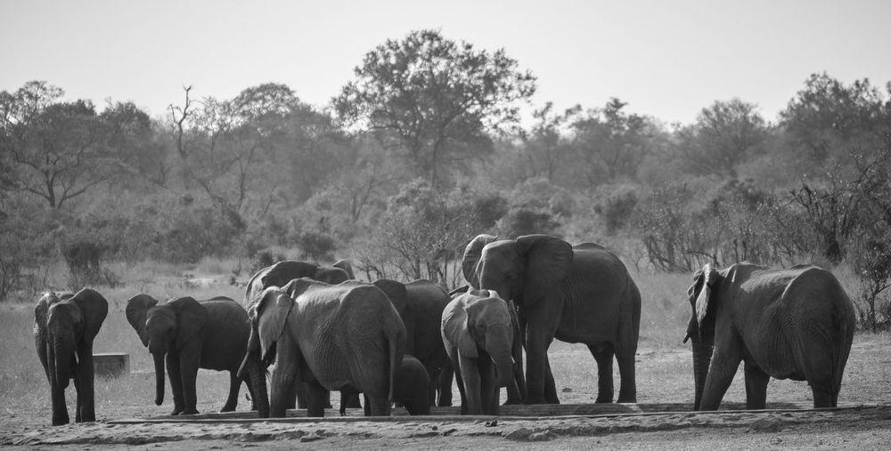 View of elephants walking on field