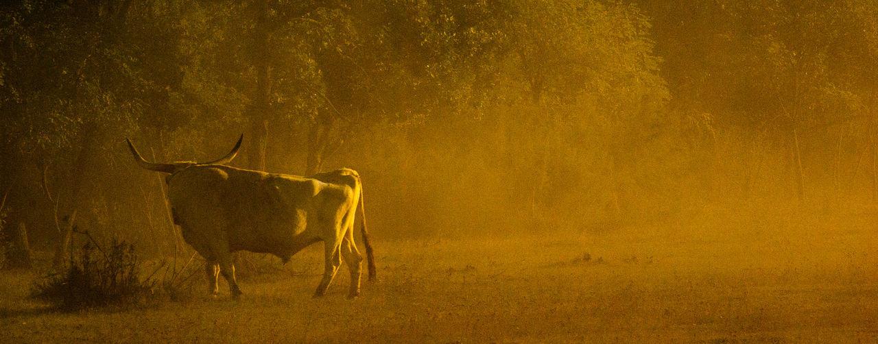Bull standing on field during sunrise