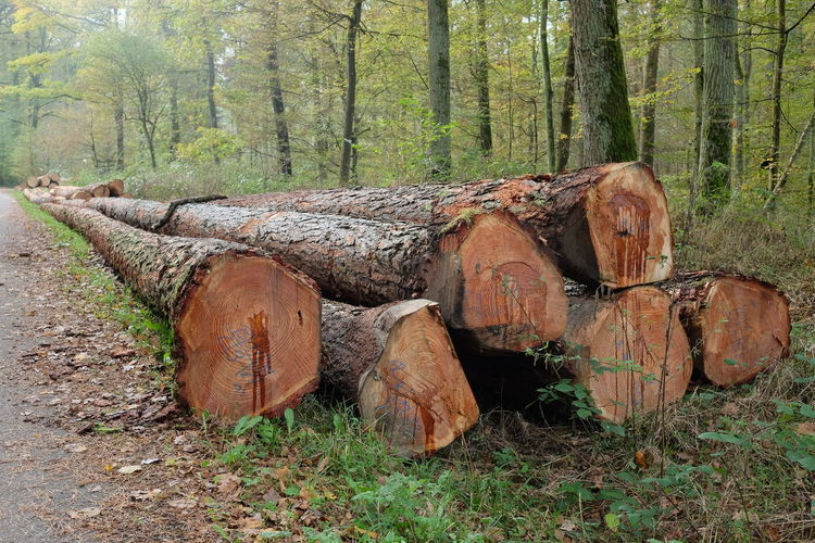 Baden-Württemberg  European Larch Forestry GERMANY🇩🇪DEUTSCHERLAND@ Harvest Season Day Forest Larch Logs Larch Timber Larix Decidua Log Nature No People Outdoors Timber Timber Sales Tree