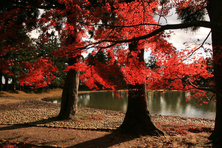 Autumn Leaves Beauty In Nature Branch Change Contrast Contrast Autumn Contrasts Day Growth Horizontal Leaf Nature No People Outdoors Red Reflection Scenics Sunlight Tree Water Japan Maple