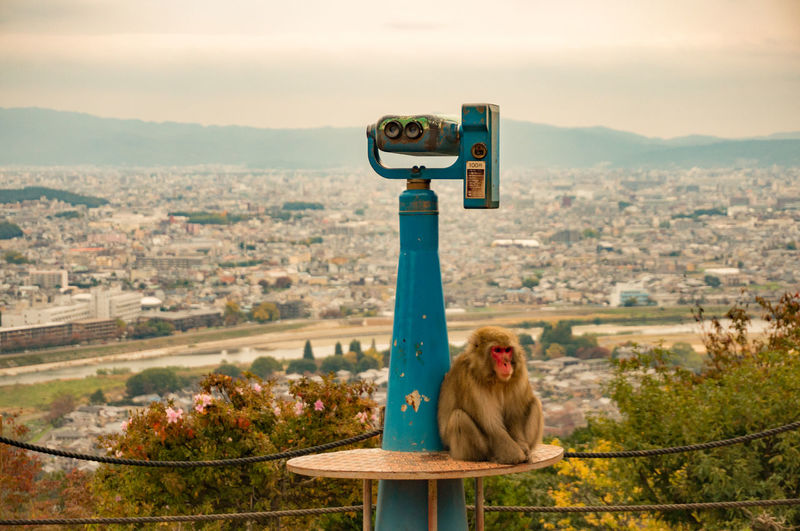 Monkey Relaxing On Coin-Operated Binoculars