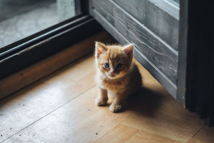 Portrait of kitten on hardwood floor