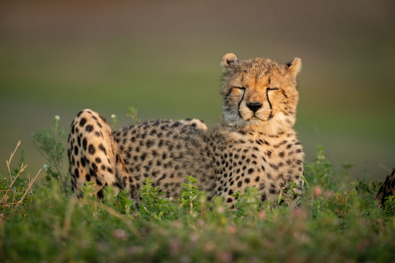 Cub with eyes closed sitting on land