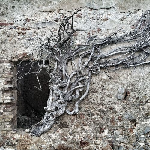 Tentacles? Tentacles Tree Trees Window Windows Abandoned Abandoned Places Placestovisit Towers Ancient Civilization Ancient Architecture Ruins Archeology Old Buildings Old Skeleton Tuscanygram Borgo Torre Casa Abbandonata Torre Pietre Stones Nopeople Silence
