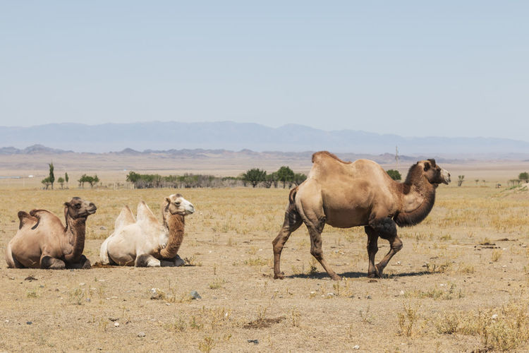 Camels on land against clear sky