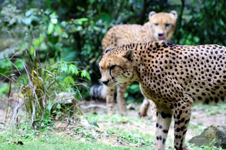 Wildlife and forestry Animal Animal Themes Animal Wildlife Animals In The Wild Big Cat Carnivora Cat Cheetah Day Feline Focus On Foreground Mammal Nature No People One Animal Outdoors Plant Safari Spotted Undomesticated Cat Whisker Zoo