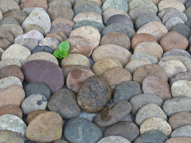 A lone plant struggles for survival Backgrounds Beauty In Nature Close-up Day Green Large Group Of Objects Lone Plant Lonely Plant Nature No People Outdoors Pebble Pebble Beach Plant Rock Rocks Struggle For Life Symbolism Thailand