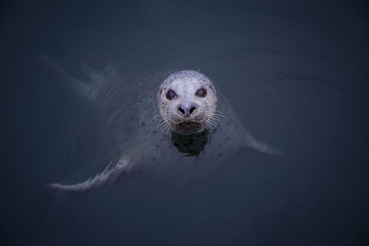 Portrait Of Seal Swimming In Sea