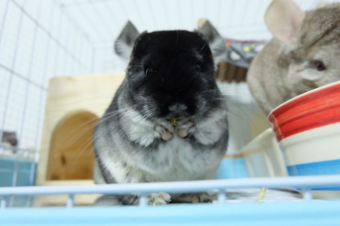 Pets Chinchilla Blackvelvet One Animal Animals