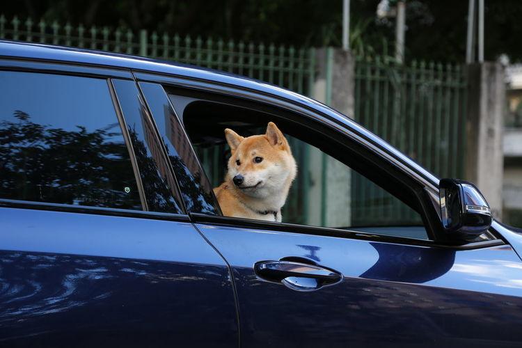 Shiba inu dog sitting on passenger seat of a shiny blue car in traffic