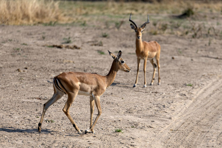 Side view of two impalas on land