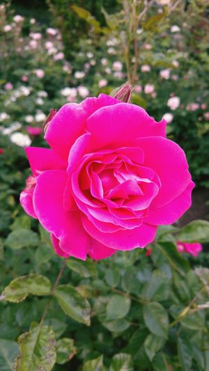 Rose🌹 Pink Beauty In Nature Flower Head Selective Focus LG G4