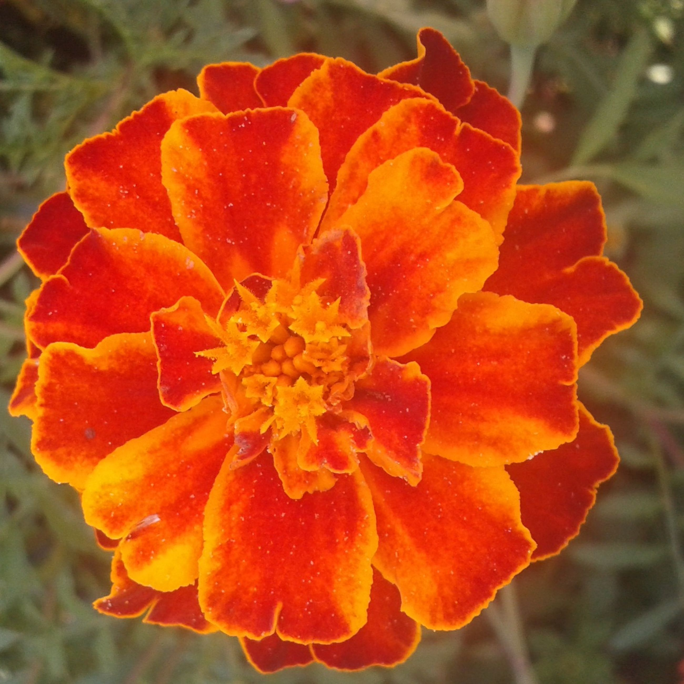 flower, petal, flower head, fragility, freshness, close-up, beauty in nature, growth, focus on foreground, blooming, single flower, orange color, nature, plant, drop, rose - flower, in bloom, red, outdoors, day