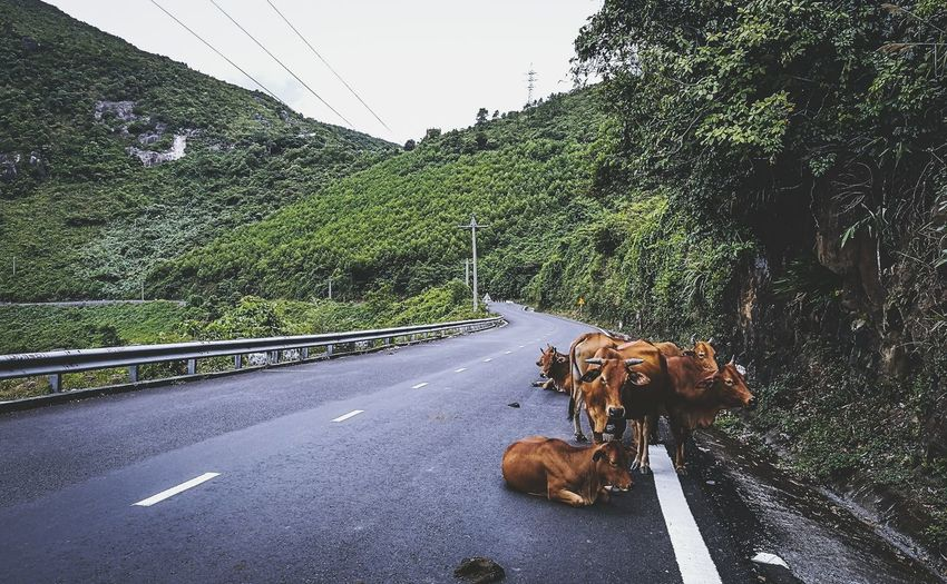 Cows On Hai Van Pass By Mountains