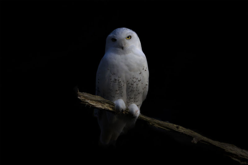 Sweden Animal Animal Themes Animal Wildlife Animals In The Wild Bird Bird Of Prey Black Background Branch Copy Space Full Length Nature No People One Animal Outdoors Parrot Perching Portrait Snowy Owl Studio Shot Sweden Nature Tree Vertebrate