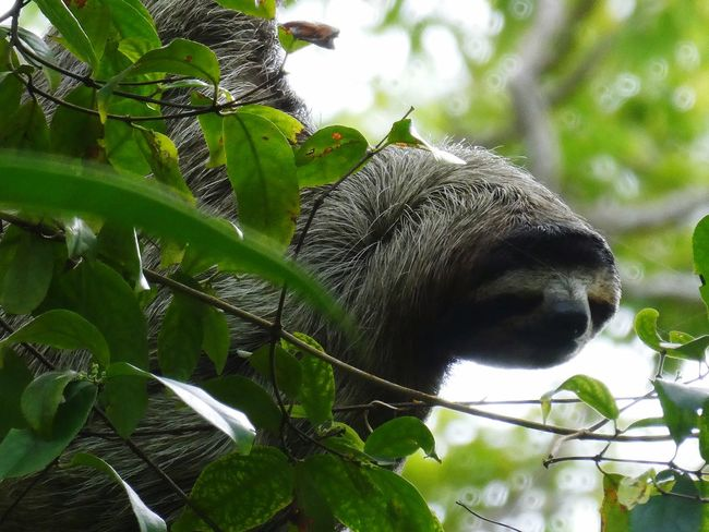 Sloth Sloth Life Sloth Faultier Animal Themes Animal Mammal One Animal Animals In The Wild Animal Wildlife Plant Tree Leaf Primate Vertebrate Branch No People Outdoors Nature Green Color Forest Plant Part Day Land