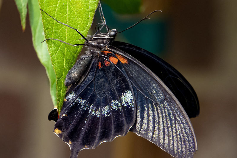 Clinging to Animal Wildlife Insect Animal Themes Animals In The Wild One Animal Animal Beauty In Nature Focus On Foreground Close-up Animal Wing Butterfly - Insect Black Color No People Nature Animal Antenna Animal Markings Outdoors Butterfly Leaf Plant Part