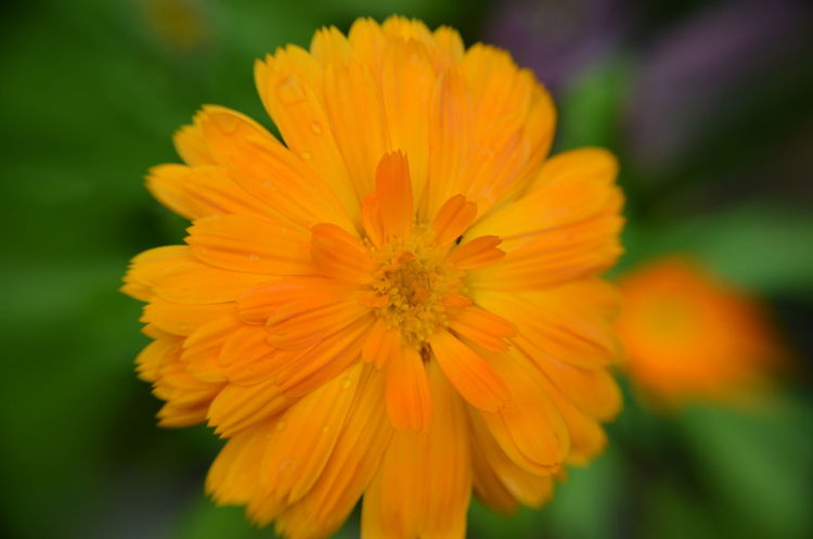 Beauty In Nature Blooming Close-up Day Flower Flower Head Fragility Freshness Growth Nature No People Orange Color Outdoors Petal Plant Yellow Merigold Calendula