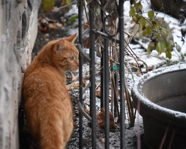 Animal Themes Mammal One Animal Outdoors Day No People Relaxation Animal Wildlife Domestic Animals Animals In The Wild Close-up Nature Cats Ginger Cat Outdoor Photography Cats Of EyeEm Snow Day Wintertime Cold Temperature Curiosity Grass Cat Snow ❄ Feline Seasons