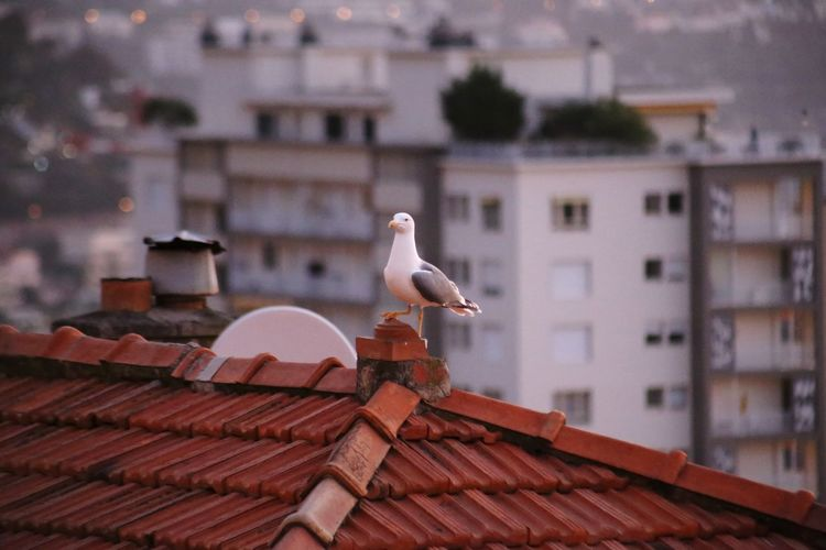 Seagull perching on roof of building