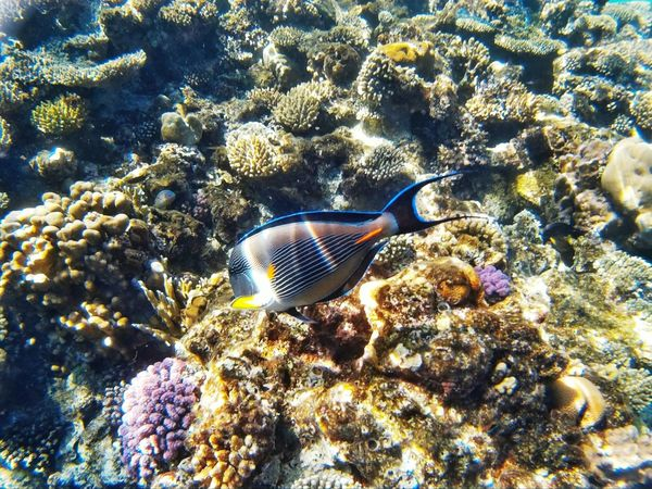 Underwater Sea Life UnderSea Coral Animals In The Wild Water Sea Beauty In Nature Day Nature Reef Egypt Ras Mohamed Egypt Travel EyeEm Travel Photography EyeEm Best Shots Adventure Traveling Ecosystem  Underwater Diving Animals In The Wild