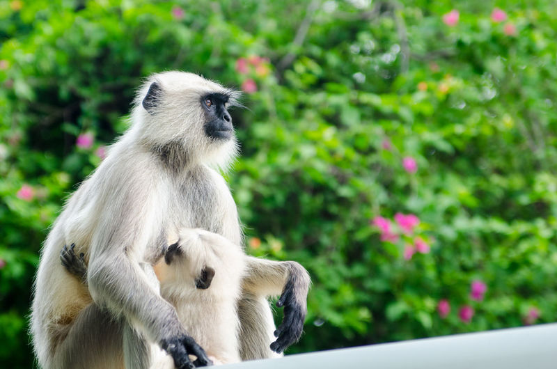Close-up of a monkey breastfeeding her baby