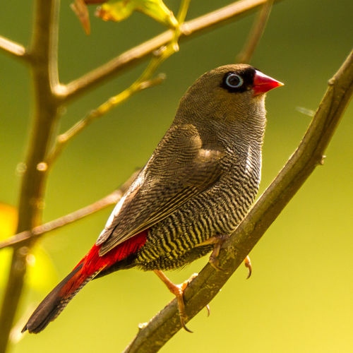 Animal Themes Animal Wildlife Animals In The Wild Beautiful Firetail Bird Bird Photography Close-up Emblema Bellum Firetail Nature Nature Photography No People Perching Rare Birds Wildlife & Nature Wildlife Photography