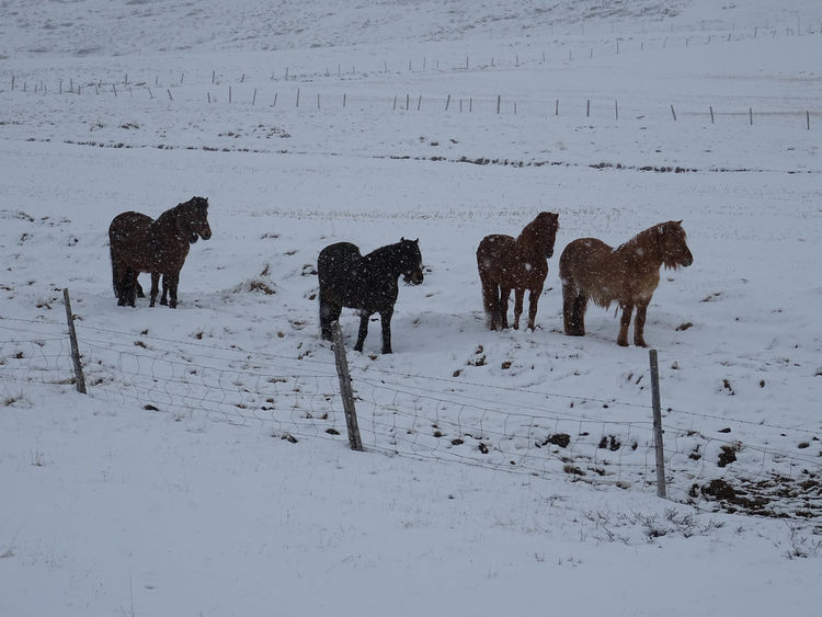 Innsbruck Islandpferd  Pony Animal Animal Themes Animal Wildlife Beauty In Nature Claudia Ioan Cold Temperature Covering Day Domestic Animals Field Group Of Animals Herbivorous Horse Iceland_collection Land Livestock Mammal Mountain Nature No People Snow Snowcapped Mountain Vertebrate White Color Winter