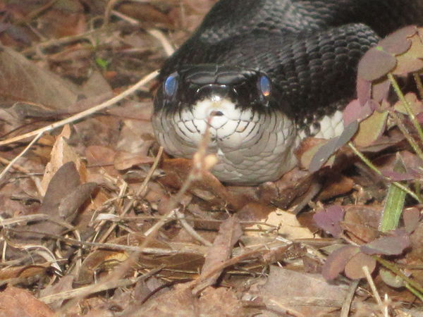 Black Rat Snake Nature Nature Photography Snake Animals In The Wild Forked Tongue Nature Rat Snake Snake Close Up Snake Shedding Snakes Are Beautiful