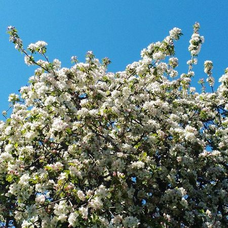 Manzanos en flor Manzanas Primavera Jardin