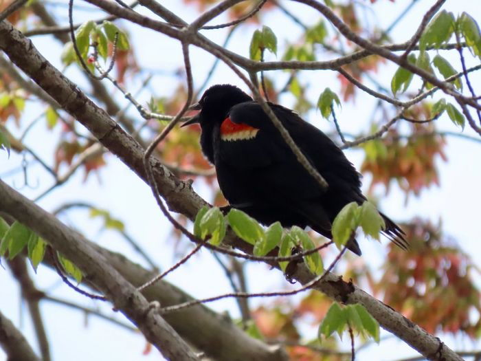 Red winged black bird perched in a tree closeup Birds of EyeEm beauty in nature focus on the foreground Branch Tree Bird Low Angle View No People