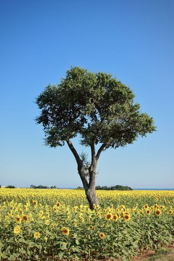Scenic view of sunflower on field against clear sky