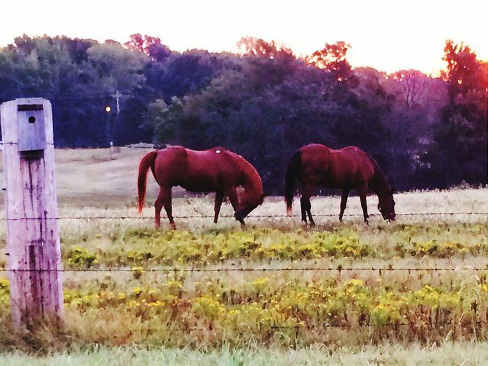 Horses Birdhouse Oldcameraphone BobWire Fence Sunset
