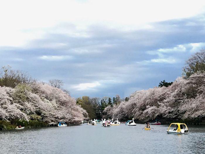 Tokyo Inokashira Park Sakura Cherry Blossoms Nautical Vessel Mode Of Transport Sky Transportation Water Tree Nature Cloud - Sky Beauty In Nature Scenics Outdoors Boat River Day No People Mountain
