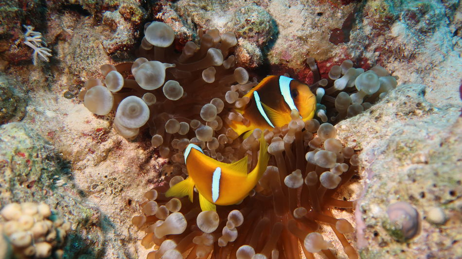Red Sea, Egypt: Nemo fishes (or Clown fishes) defending their anemone bravely Diving Egypt Nemo Red Sea Diving SCUBA Safaga Wildlife Photography Anemone Fish Animals In The Wild Clown Fishes Coral Fish Marine Nemo Fish No People Ocean Orange Color Outdoors Red Sea Reef Sea Life UnderSea Underwater Wildlife