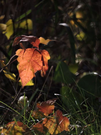 Autumn Colors Perspectives On Nature Autumn Beauty In Nature Change Close-up Day Dry Fragility Grass Growth Leaf Maple Maple Leaf Nature No People Outdoors Poison Ivy Sunlight And Shadow