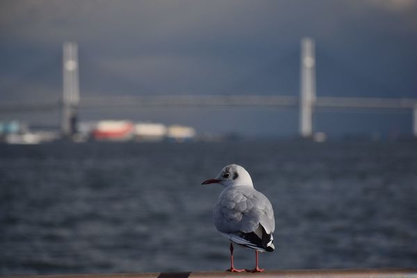 bridge My Point Of View Streetphotography Yokohama ゆりかもめ Blackheaded Gull Sea And Sky Bird One Animal Animal Themes Animals In The Wild Focus On Foreground Seagull Sea Water Perching Nature Animal Wildlife No People Day Outdoors Sea Bird Built Structure Architecture Close-up Sky Colour Your Horizn EyeEmNewHere