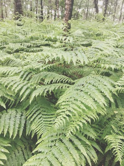 Nature Growth Green Color Forest Day Beauty In Nature No People Fern Leaf Scenics Tree Outdoors Tranquility Freshness Close-up Hermannsweg Teutoburger Wald Northrhein Westfalia Germany Into The Woods Hikingadventures Hiking Landscape Fairytale