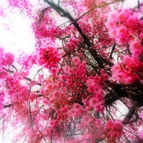 love Japan Spring Flowers Flowers Pink New Cute Love Japan Photography Photography Cherry Blossoms