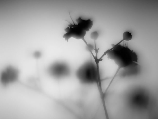 Nature Blackandwhite Light And Shadow EyeEm Nature Lover Monochrome Shillouette Flowers Bw_collection かすみ草