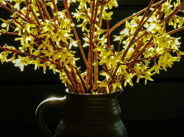 Blütenäste Forsythienblüten Frühling Branch Close-up Flower Fragility Freshness Gelbe Blüten🌾 Growth Indoors  Nature Night No People Plant Vase Vase Of Flowers
