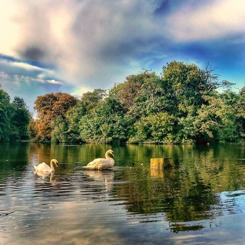 Lake Water Swan Animals In The Wild Animal Themes Bird Nature Tree Cloud - Sky Swimming Sky Reflection Tranquil Scene Waterfront Water Bird No People Day Beauty In Nature Togetherness Outdoors