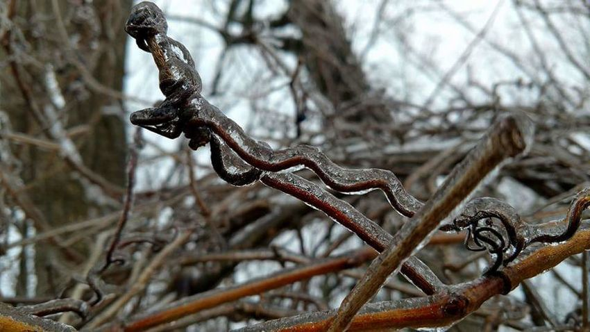Close up of ice on a vine after a brief near winter storm. Tree Close-up Outdoors No People Nature Focus On Foreground